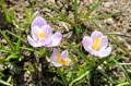 クロッカスの花を訪れ、蜜や花粉を集める「ミツバチ」。(26.3.25)