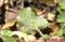 ショカツサイの葉の裏に、産卵。(26.3.31)(13時)