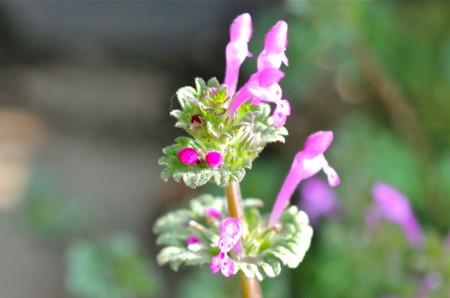 「ホトケノザ(仏の座)」の花。(26.4.2)
