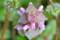 「ヒメオドリコソウ(姫踊り子草)」の花。(26.4.2)