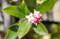 独特の香り、「ジンチョウゲ(沈丁花)」の花。(26..4.3)