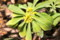 開花した「ナツボウズ(夏坊主)」の花。(26.4.3)