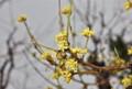 「サンシュユ(山茱萸)」の花。(26.4.4)