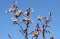 青空に映える、「ケイオウザクラ(啓翁桜)」の花。(26.4.5)
