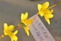 レンギョウ(連翹)の花。(26.4.10)