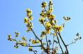 青空に映える「クロモジ」の花。(26.4.23)