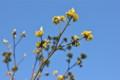 青空に、「クロモジ」のクリーム色の花。(26.4.24)