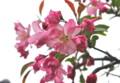 妖艶な美しさの「ハナカイドウ」。(26.4.29)