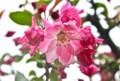 雨に濡れて、艶かしい「ハナカイドウ」の花。(26.4.30)(10:18)