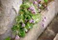 近くの石垣にランディング、花を咲かせた「オキナグサ(翁草)」。(26