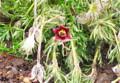 花首を擡げた「オキナグサ(翁草)」。(26.5.5)