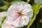 雌しべの葉化現象。(26.5.8)