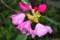 雨粒をいただいている「ホンシャクナゲ」の花。(26.5.9)