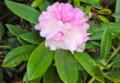 咲き出した、遅咲きの「屋久島石楠花」。(26.5.9)