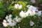 花着きがよくなった「赤星石楠花」。(26.5.9)