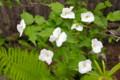 清楚な「シロバナヤマブキ(白花山吹)」の花。(26.5.12)