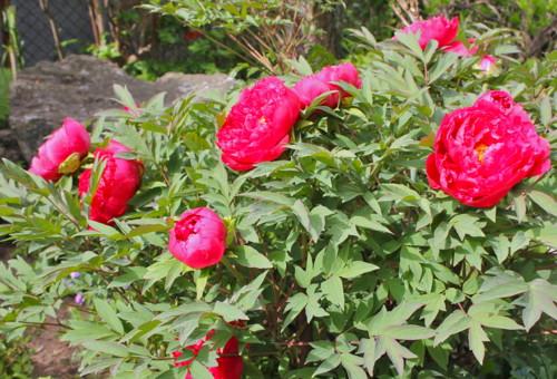 咲き始めた、お気に入りの牡丹、「芳紀」。(26.5.14)
