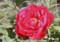 お気に入りの牡丹、「芳紀」。(26.5.14)