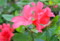 赤みの強い「ヤマツツジ」の花。(26.5.15)