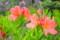 次々に開く、「レンゲツツジ」の花。(26.5.15)
