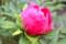 開花寸前の、牡丹の蕾。(26.5.15)