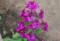 「ルナリア(合田草)」の花。(26.5.15)