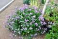 「ショカツサイ」、「ハボタン」の花。(26.5.15)