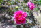 自慢の「ボタン(牡丹)」が咲いて。(26.5.18)