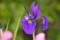 咲き始めた「あやめ」の花。(26.5.20)