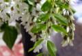 早くも咲き始めた、「ニセアカシア)」の花。(26.5.25)