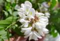 白い蝶形、ニセアカシアの花。(26.5.25)