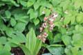 今日、誕生日の花は、「エビネ(海老根)」。(26.5.27)