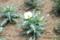 咲き始めた「アルゲモネ」(ひろば)。(26.6.3)