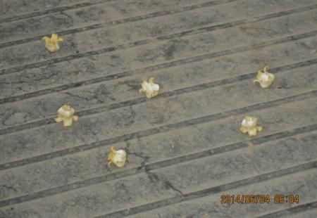 荷台の上に落ちた「カキ(柿)」の花。(26.6.4)