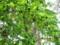 敷地内の「ハンノキ」の大木。(26.6.5)