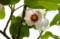 今が見頃の「オオヤマレンゲ(大山蓮花)」の花。(26.6.6)