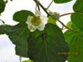 「キウイフルーツ」の雌花。(26.6.8)
