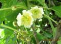 キウイフルーツの雄花。(26.6.8)