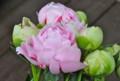 今が旬の「シャクヤク(芍薬)」の花。(26.6.11)