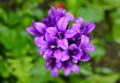 雨に濡れる、「ヤツシロソウ(八代草)」の花。(26.6.12)