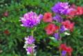 「ヤツシロソウ(八代草)」と、赤い「サツキ(皐月)」の花。(26.6.16)