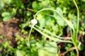 「ニンニク(大蒜)の茎の先端に、奇妙な物が…。(26.6.20)