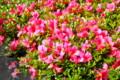 旧暦、「五月・皐月」に、真っ盛りの「サツキ(皐月)」の花。(26.6.20)