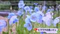 テレビ、「ヒマラヤの青いケシ(大鹿村)」