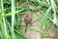 麦の間で、大切に育てられている「コンニャク(蒟蒻)」(26.6.24)