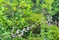 雨に打たれる、「旗竿桔梗・ラプンクロイデス」。(26.7.3)