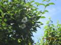 青空に映える「ナツツバキ(夏椿)」。(26.7.8)