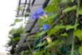 まだ開き切らない「ヘヴンリーブルー」朝顔の花。(26.7.16)(5:30)
