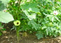 美しい「アオイ科」の花たち。(26.7.17)