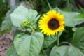 舌状花を全開した「ヒマワリ(向日葵)」。(26.7.19)